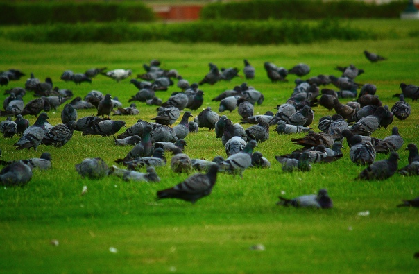 Pigeons In Front of Red Fort