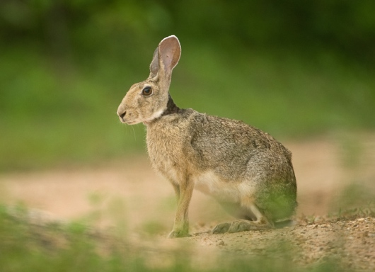 Black naped hare