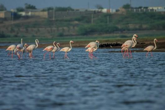 Flamingoes At Shinai Lake Kutch