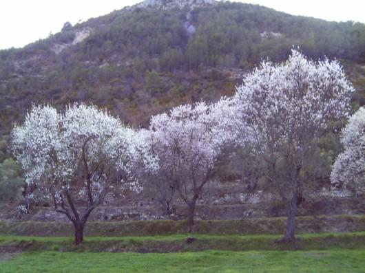 Almond Garden