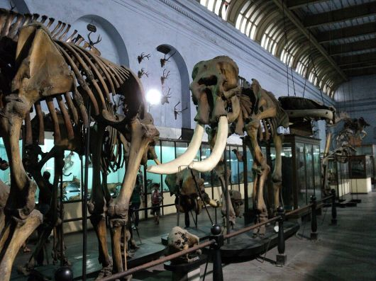 Elephant skeleton In Museum