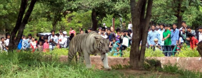 Visitors Watching A White Tiger at Nehru Zoological Park