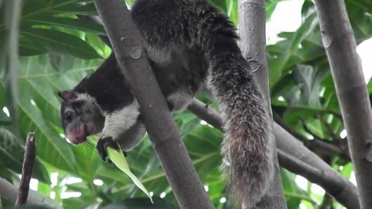 Grizzled Squirrel Wildlife Sanctuary Srivilliputhur